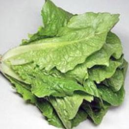 有机栽培 有机罗马生菜