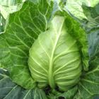Organic Head Cabbage (Farm Direct)